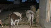 Isle de Sol - Donkeys at work