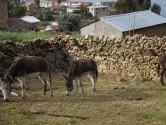 Isle de Sol - Donkeys in paddock2