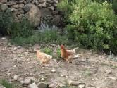 Isle de Sol - free range chickens