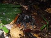Tarantula in jungle