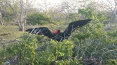 Frigit birds (male)