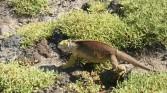 Land iguana escaping