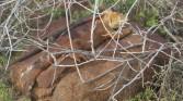 Land iguana, male and female