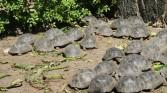 Young tortoises